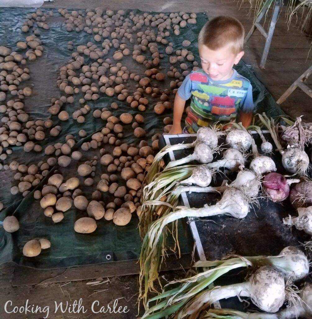 little dude between tons of freshly harvested onions and potatoes.